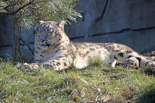 Snow Leopard, Predator, Big Cat, Animals, Carnivores