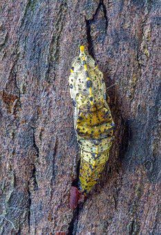 Pupa, Butterfly, Large White, Cocoon, Wildlife