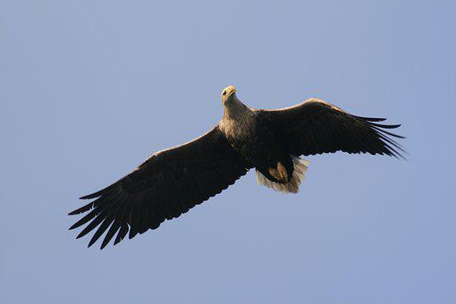 Adler, Bird, Raptor, Flying, Sky, Bird Of Prey, Nature