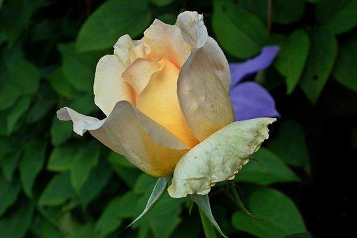 Rose, Tea, Flower, Nature, Summer, Garden, Closeup