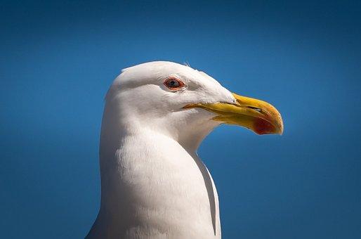 Seagull, Bill, Blue, Head, Portrait, Close Up, Bird