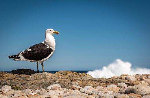 Seagull, Coast, Surf, Wave, Sea, Beach, Bird, Water