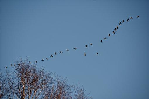 Cranes, Birds, Sky, Migration, Wild, Silhouette, Crane