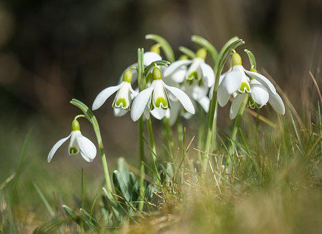Snowdrop, Flower, Plant, Spring, Early Bloomer