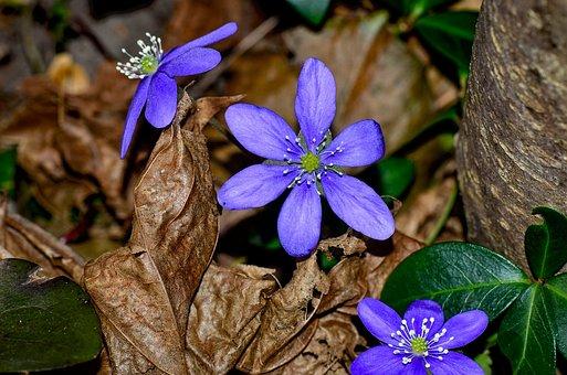 Hepatica, Blue, Flower, Spring Flower, Forest, Nature
