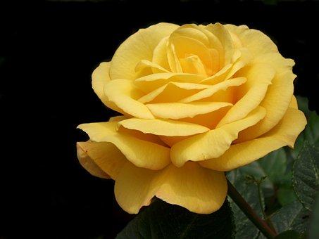 Rose, Yellow, Garden, Nature, Closeup, Summer, Macro