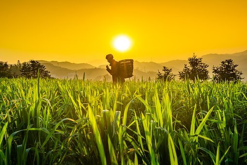 Green Leaf, Wheat, Sunset, The Old Man, Walking