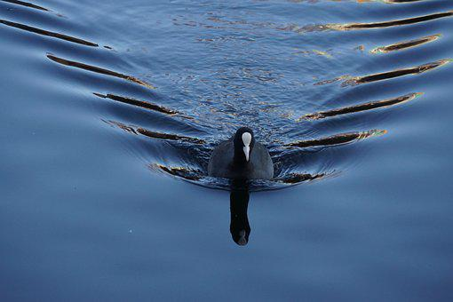 Coot, Waves, Bird, Paddle, Water, Waterfowl, Swimming