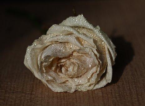 Rose, White, Petals, Drops, Splash, Water