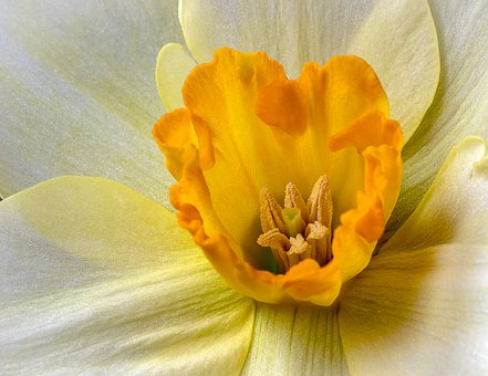 Daffodil, Wildflower, Yellow, Botany, Blossom, Floral
