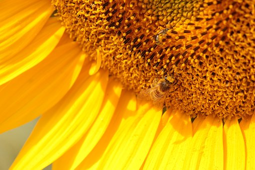 Sunflower, Bee, Yellow, Flower, Bees, Plants, Nature