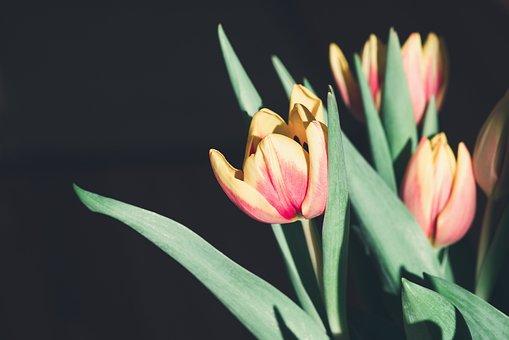 Tulips, Flowers, Yellow, Red, Orange, Bloom