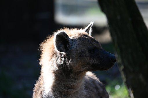 Predator, Animal World, Carnivores, Zoo, Hyena