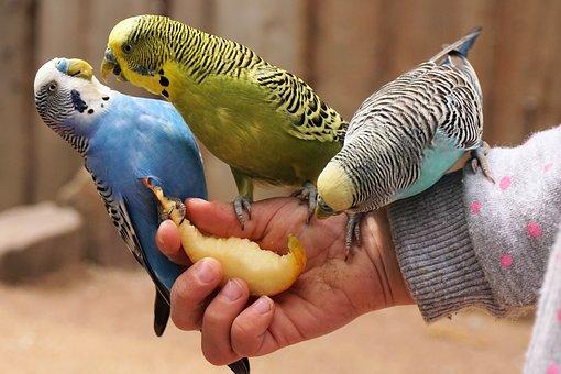 Budgerigars, Bird, Animal, Bill, Food, Animal World