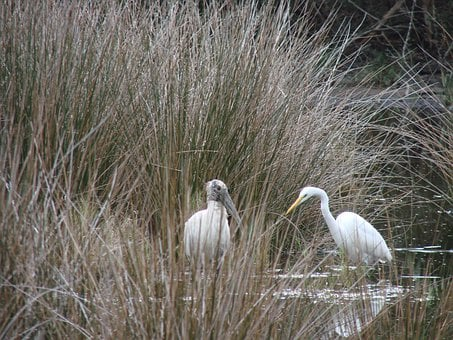 Woodstork, Birds, Egret, Animal, Wildlife, Florida