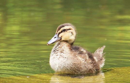 Entenjunges, Ducky, Poultry, Creature, Animal World