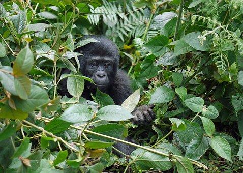 Gorilla, Baby, Mountain Gorilla, Ape, Hand, Uganda