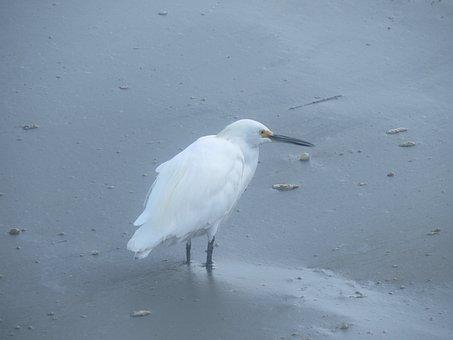 Egret, Bird, Wildlife, Animal, Beak, Avian, Feathers