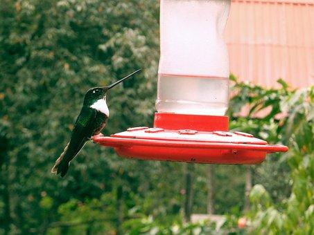 Hummingbird, Bird, Beautiful, Sings, Close Up, Animal