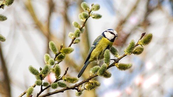 Blue Tit, Photo Of Titmouse, Bird, Small Bird, Cute