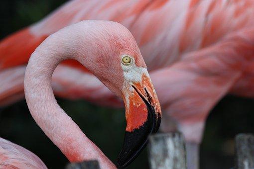 Flamingo, Bird, Avian, Animal, Wading, Feather, Wing