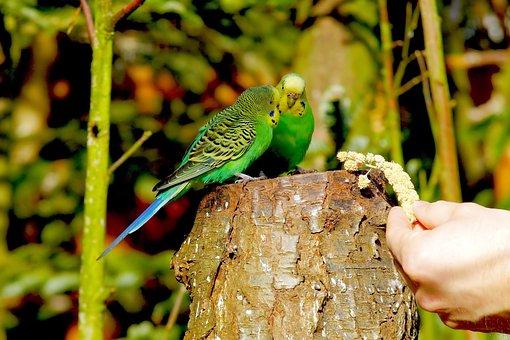 Birds, Budgerigars, Green Bird, Animals, Together, Food