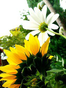 Sun Flower, Marguerite, Blossom, Bloom, Flowers