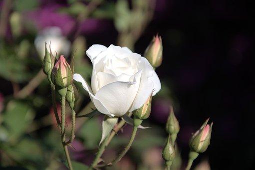 Iceberg, White Rose, Buds, Spring