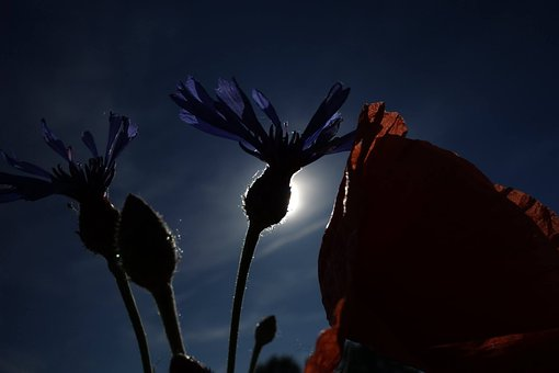 Poppy, Cornflower, Glimmer, Clearance, The Light