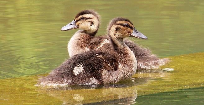Ducks Young Duckling, Poultry, Creature, Animal World