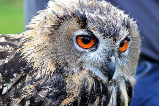 Eagle Owl, Owl, Bird, Animal, Wildlife, Nature, Eagle