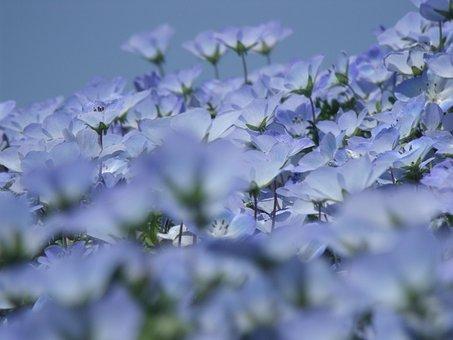 Nemophila, Flowers, Early Summer Flowers