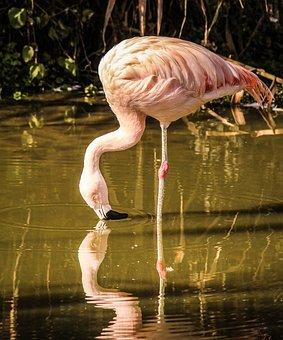 Flamingo, Wading Bird, Pink Feathers, Bird, Wings