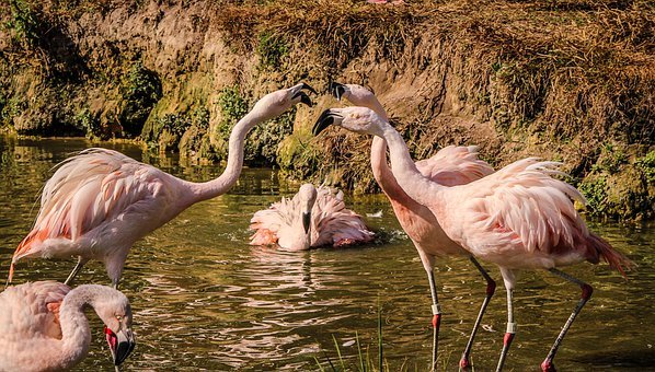 Bird, Flamingos Squabling, Altercation, Wading Birds