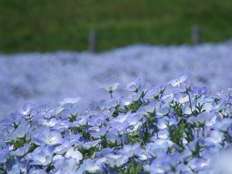 Nemophila, Park, Ibaraki Prefecture, Blue, Flowers
