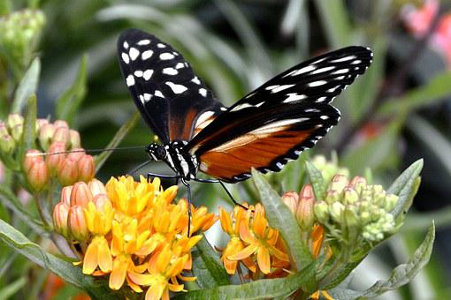 Butterfly, Insect, Wing, Flying, Animal, Black, Orange