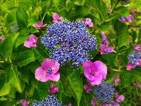 Hydrangea, Pink, Red Purple, Leaf, Green, Purple