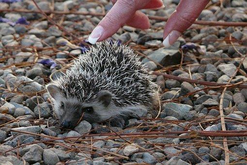 Hedgehog, Small, Baby, Tiny, Big Ears, Cute