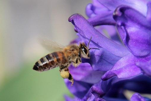 Bee, Insect, Honey Bee, Fly, On Approach, Nectar
