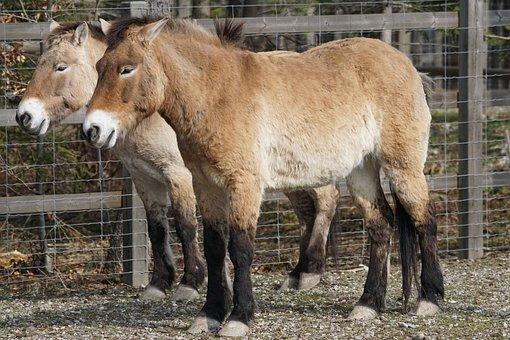 Przewalski, Horse, Wild Horse, Perissodactyla