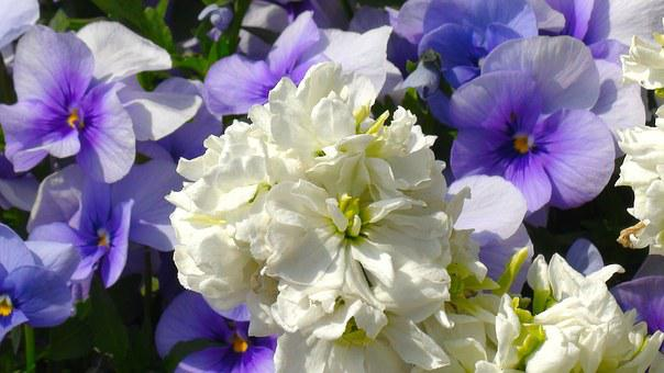 White, Flowers, Pansy, Sumire, Purple, Green, Leaf