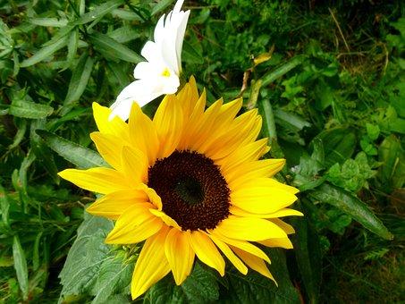 Sunflower, Marguerite, Flowers, Flower Heads
