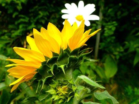 Sunflower, Marguerite, Flowers, Late Summer, Garden