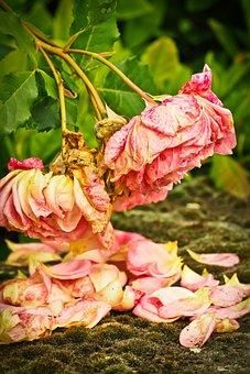 Roses, Flower, Pink Rose, Blossom, Bloom, Nature, Pink