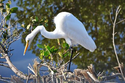 Egret, Florida, White, Bird, Wildlife, Nature, Wild