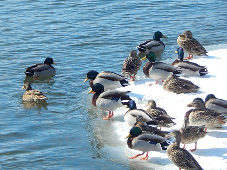 Mallard Ducks, Nature, Wildlife, Wading Bird, Ducks