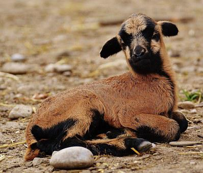 Sheep, Wildpark Poing, Reborn, Young Animal, Newborn