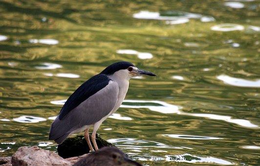 Night Heron, Crowned, Night, Herons, Birds, Fish Eating