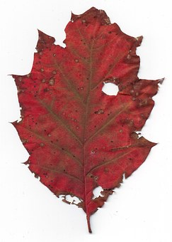 Sheet, Age, Red, Withered, Old, Autumn, Nature, October