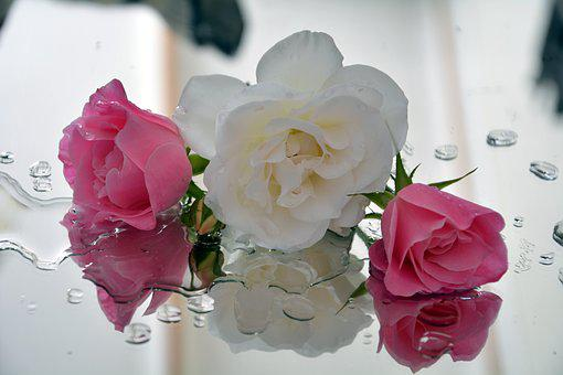 Icebergs, Roses, Spring, Pedals, Pink And White